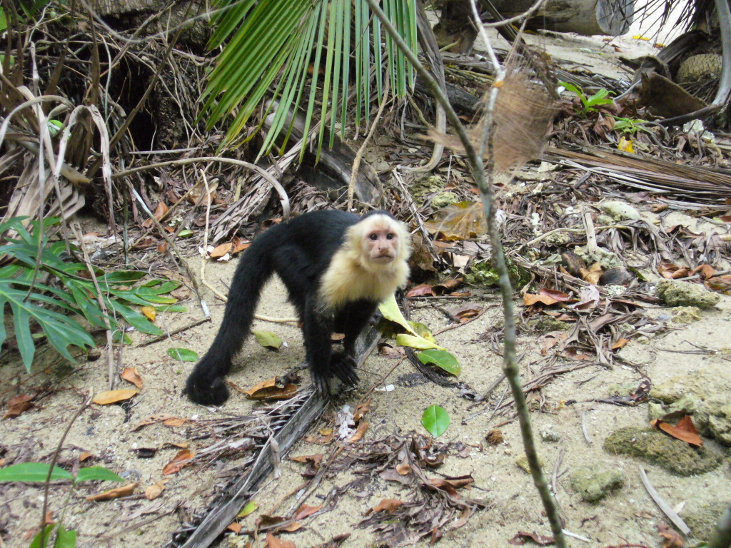 Monkey in Puerto Viejo