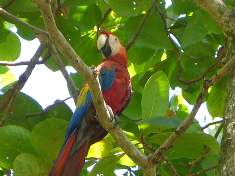 Scarlet Macaw Corcovado National Park